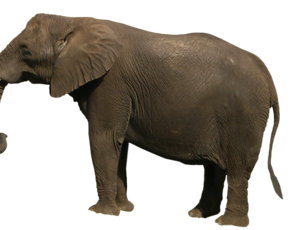 Tusk Clipart 101 Tusk Clip Art Large collections of hd transparent elephant png images for free download. kissclipart